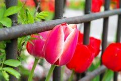 Tulipanes y cerca del hierro Fotos de archivo libres de regalías