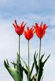 Tulipanes y cielo Imagen de archivo libre de regalías