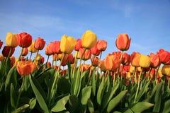 Tulipanes y cielo azul Fotos de archivo libres de regalías