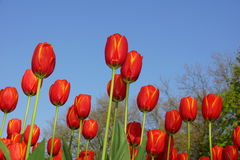 Tulipanes y cielo azul Imágenes de archivo libres de regalías