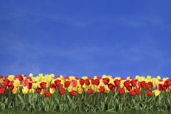 Tulipanes y cielo azul coloreados imagen de archivo libre de regalías