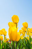 Tulipanes y cielo azul en primavera Foto de archivo libre de regalías