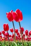Tulipanes y cielo azul en primavera Imagen de archivo