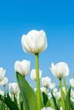 Tulipanes y cielo azul en primavera Foto de archivo