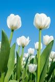 Tulipanes y cielo azul en primavera Fotografía de archivo