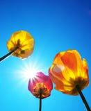 Tulipanes y cielo claro fotografía de archivo