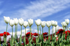 Tulipanes y claveles rojos en primavera Foto de archivo libre de regalías
