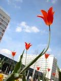 Tulipanes y edificios Foto de archivo