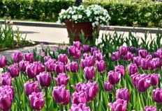 Tulipanes y florero púrpuras con las flores blancas Imagen de archivo libre de regalías