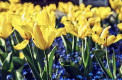 Tulipanes y flores amarillos de la nomeolvides, filtro de la belleza imagenes de archivo
