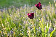 Tulipanes y flores de la primavera Imagen de archivo libre de regalías