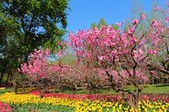 Tulipanes y flores del melocotón en primavera del jardín imagenes de archivo
