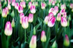 Tulipanes y flores en jardínde s de Sigurtà ' imagen de archivo