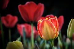 Tulipanes y flores en jardínde s de Sigurtà ' imagen de archivo libre de regalías