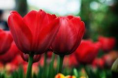 Tulipanes y flores en jardínde s de Sigurtà ' fotos de archivo