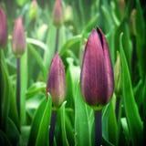 Tulipanes y flores en jardínde s de Sigurtà ' imagenes de archivo