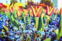 Tulipanes y flores rojos de la nomeolvides, filtro de la belleza foto de archivo