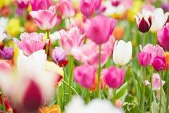 Tulipanes y flores rosados en campo Fotos de archivo