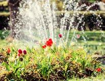 Tulipanes y fuente hermosos, escena natural Foto de archivo libre de regalías