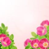 Tulipanes y hojas foto de archivo