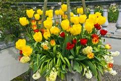 Tulipanes y jacintos en un plantador de madera Imagen de archivo libre de regalías