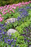 Tulipanes y jacintos hermosos en jardín Imagen de archivo