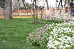 Tulipanes y margaritas p?rpuras, fondo de la primavera fotografía de archivo
