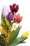 Tulipanes y mimosa Fotos de archivo