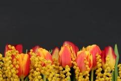 Tulipanes y mimosa anaranjados frescos en fondo oscuro Fotografía de archivo libre de regalías