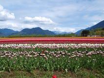 Tulipanes y montañas Fotos de archivo libres de regalías