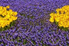 Tulipanes y muscari azul Imagen de archivo
