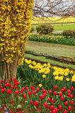 Tulipanes y narcisos fotografía de archivo