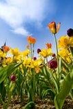 Tulipanes y narcisos Foto de archivo libre de regalías