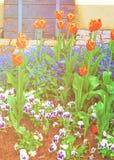 Tulipanes y olvidarme no flores en el jardín Reichenau Alemania foto de archivo