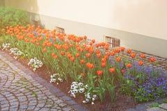 Tulipanes y olvidarme no jardín de flores Reichenau Alemania foto de archivo