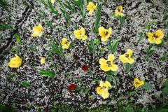 Tulipanes y pétalos amarillos y rojos de la cereza en la tierra fotografía de archivo libre de regalías