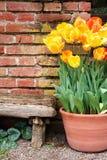 Tulipanes y pared vieja Imágenes de archivo libres de regalías