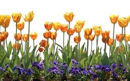 Tulipanes y pensamientos Foto de archivo libre de regalías
