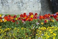 Tulipanes y pensamientos en el parque en primavera Imagen de archivo