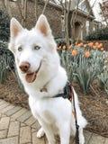Tulipanes y perritos imagenes de archivo