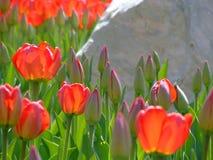 Tulipanes y roca Fotografía de archivo libre de regalías