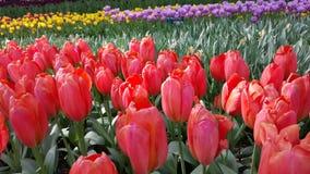 Tulipanes y sol de la flor Fotos de archivo libres de regalías