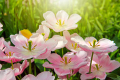 Tulipanes y sol rosados Foto de archivo
