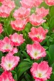 Tulipanes y sol rosados Fotografía de archivo libre de regalías