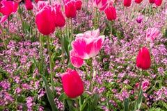 Tulipanes y una alfombra de flores Foto de archivo libre de regalías