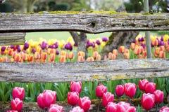 Tulipanes y viga horizontal de madera rústica de la cerca Imagen de archivo libre de regalías