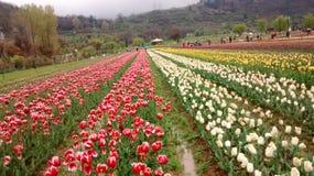 Tulipani fotografie stock