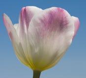 Tulipani Immagine Stock