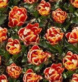 tulipani 图库摄影
