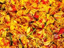 Tulipani Immagini Stock